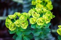 Planta do wulfenii do eufórbio com a formiga preta do jardim, na natureza Spurge de Cypress, cyparissias do eufórbio Eufórbio Amy Imagens de Stock Royalty Free