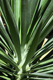 Planta do Yucca Fotografia de Stock Royalty Free