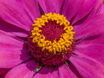 Planta do Zinnia Imagens de Stock Royalty Free