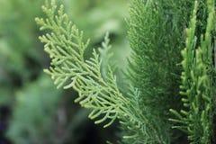 A planta dos alecrins semeia o montain agadir Marrocos do atlas foto de stock
