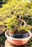 Planta dos bonsais Fotografia de Stock