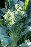 Planta dos bróculos Fotografia de Stock Royalty Free
