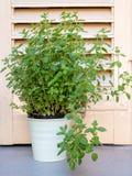 Planta dos or?ganos fotografia de stock royalty free