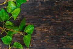A planta dos peixes de Cordata do Houttuynia ou o vegetal de Plu Kaow com peixes cheiram a erva imagem de stock