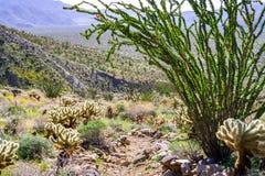 Planta dos splendens do Fouquieria do Ocotillo que floresce no parque estadual do deserto de Anza Borrego, sul Califórnia foto de stock