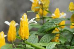 Planta dourada do camarão, lutea de Pachystachys da planta do pirulito, flor tropical amarela fotos de stock royalty free