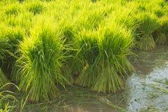 Planta e fazendeiro de arroz Foto de Stock Royalty Free