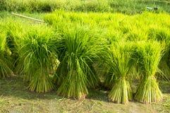 Planta e fazendeiro de arroz Fotografia de Stock Royalty Free
