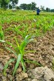 Planta e fazendeiro de milho que trabalham na exploração agrícola Imagens de Stock