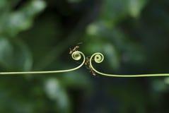 Planta e formigas do montanhista Fotografia de Stock