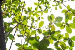 Planta e hastes da folha no trajeto isolado do fundo e de grampeamento Imagens de Stock Royalty Free
