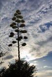 Planta e nuvens mostradas em silhueta de século do por do sol Imagens de Stock Royalty Free