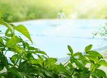 Planta e árvore tropicais em torno da piscina na luz do sol, foco macio Fotografia de Stock Royalty Free
