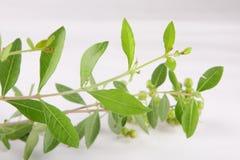 Planta E SEMENTES verdes frescas da hena imagens de stock