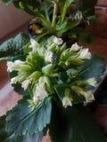 Planta el flamear Katy con las flores blancas Imagenes de archivo