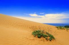 Planta em dunas de areia. Imagem de Stock