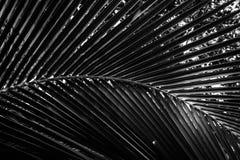 Planta em folha de palmeira preto e branco Imagens de Stock Royalty Free