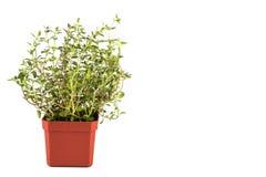 Planta em pasta do tomilho com o fundo isolado, nivelado à esquerda Imagens de Stock