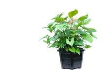 Planta em pasta verde, árvores no shell do coco isolado no branco Fotos de Stock