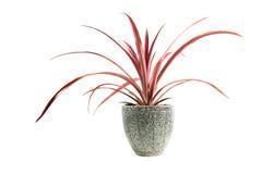Planta em pasta vermelha, árvores no potenciômetro isolado no branco Imagem de Stock