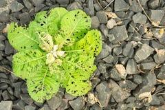 Planta em rochas Fotografia de Stock Royalty Free