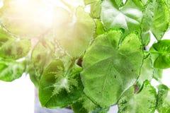 Planta em uns potenciômetros na tabela de trabalho com luz solar da janela Fotografia de Stock Royalty Free