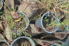 Planta em uns potenciômetros plásticos no coto inoperante Foto de Stock