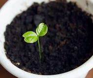 Planta emergente nova verde no potenci?metro branco fotos de stock