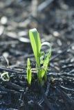 Planta en campo quemado Foto de archivo libre de regalías
