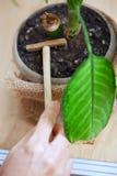 Planta en conserva que cultiva un huerto de la mujer fotos de archivo