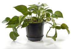 Planta en crisol Fotos de archivo