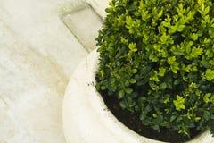 Planta en crisol de cerámica grande Fotografía de archivo libre de regalías