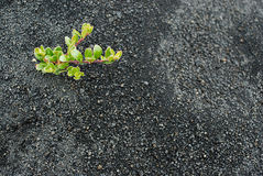 Planta en el área de Hverfjall, cerca del lago Myvatn, Islandia fotos de archivo libres de regalías