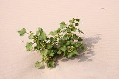 Planta en el desierto Fotografía de archivo libre de regalías