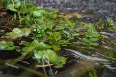 Planta en el río Fotografía de archivo