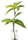 Planta en la botella Imagen de archivo