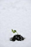 Planta en la nieve Fotos de archivo libres de regalías