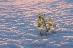 Planta en nieve Fotografía de archivo libre de regalías