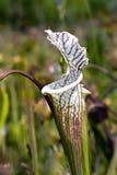 Planta en peligro de la especie Fotografía de archivo
