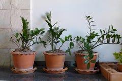 Planta en potes de arcilla Fotografía de archivo