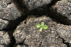 Planta en tierra agrietada de la arcilla Fotos de archivo libres de regalías