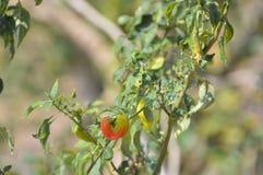 Planta encarnado da pimenta de pimentão Imagens de Stock