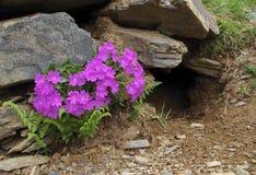 Planta endémica (prímula hirsuta) Foto de archivo libre de regalías