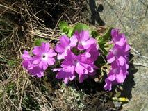 Planta endêmico (prímula hirsuta) Fotografia de Stock Royalty Free