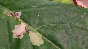 Planta enferma de la pimienta, con los gusanos en hojas