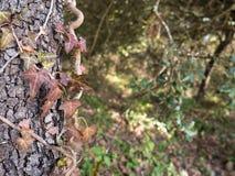 Planta enredada en árbol, misterioso y hermoso imagen de archivo libre de regalías