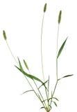 Planta entera de la hierba Fotografía de archivo