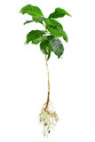 Planta entera del arabica del café aislada en blanco Imagen de archivo