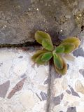 Planta entre as telhas Imagens de Stock