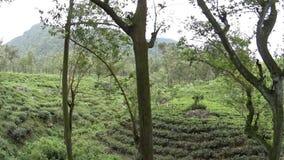Planta??es de ch? de Sri Lanka video estoque